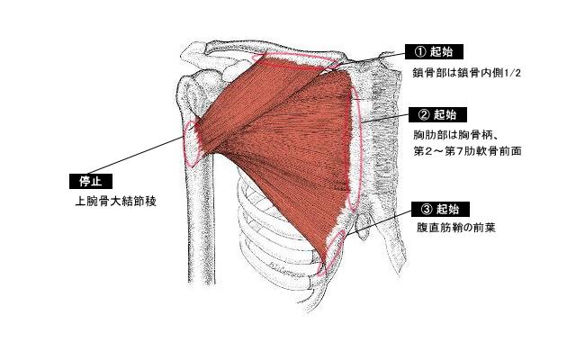 大胸筋(だいきょうきん)|筋肉...