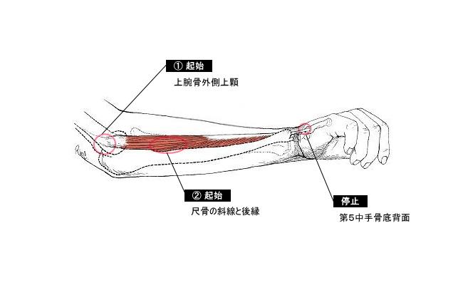 尺側手根伸筋