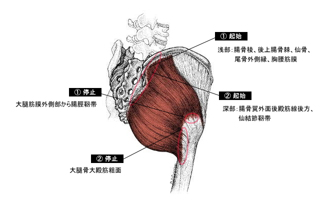 「大臀筋」の画像検索結果