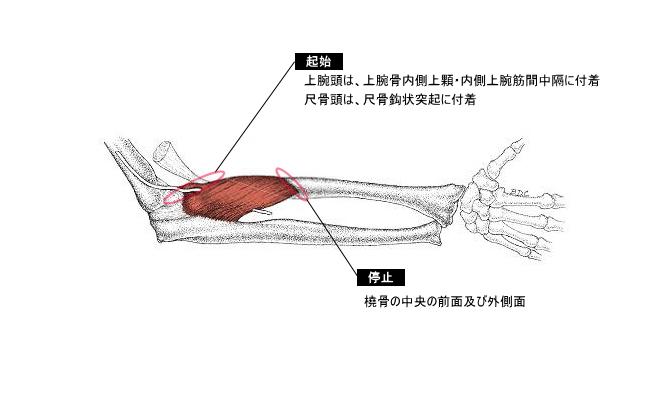 円回内筋とは?部位ごとの筋肉の作用と役割を解説