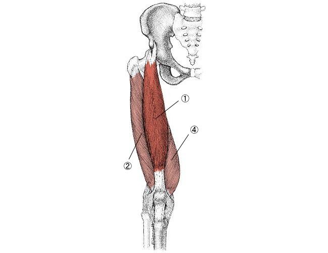 「大腿四頭筋 横図」の画像検索結果