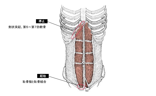 腹直筋(ふくちょくきん)とは-腹直筋の働きをわかりやすく ...