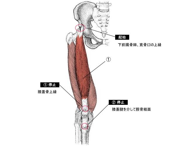「大腿直筋」の画像検索結果