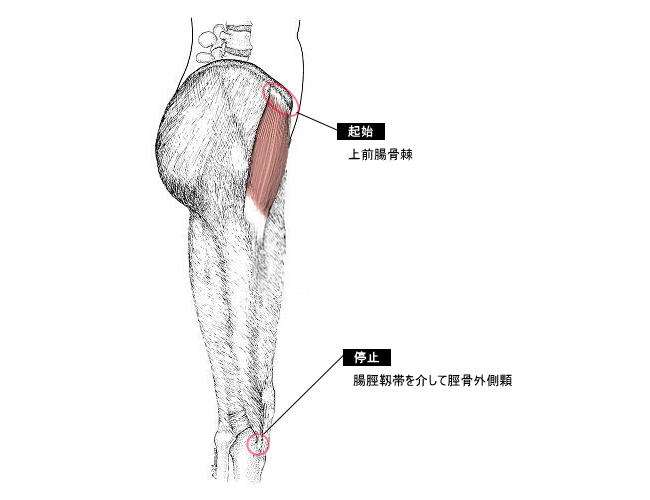 「大腿筋膜張筋 大転子 上前腸骨棘」の画像検索結果