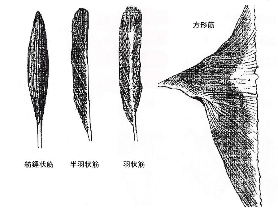 骨格筋の形による分類
