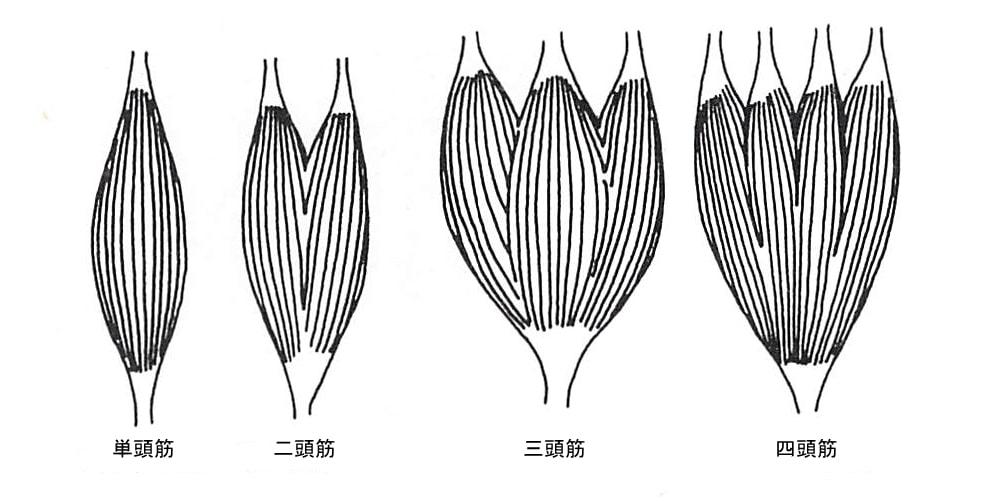 骨格筋の筋頭の数による分類