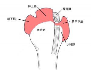 棘上筋と肩甲下筋の停止部