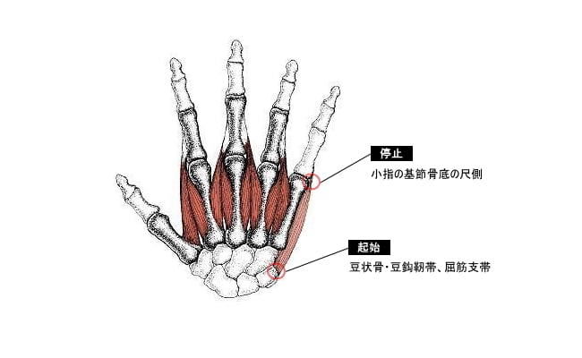 小指外転筋