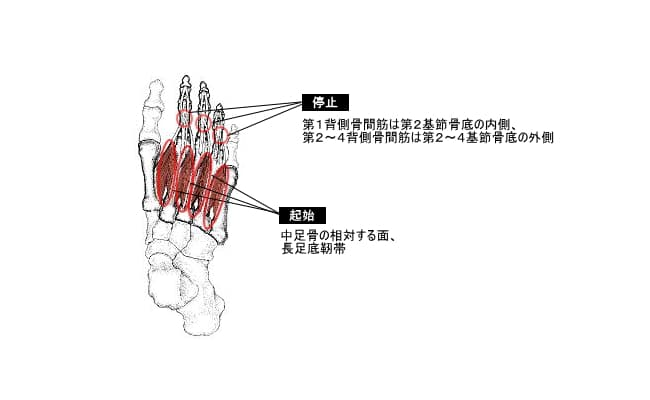 背側骨間筋