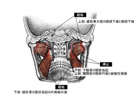 lateral_pterygoid