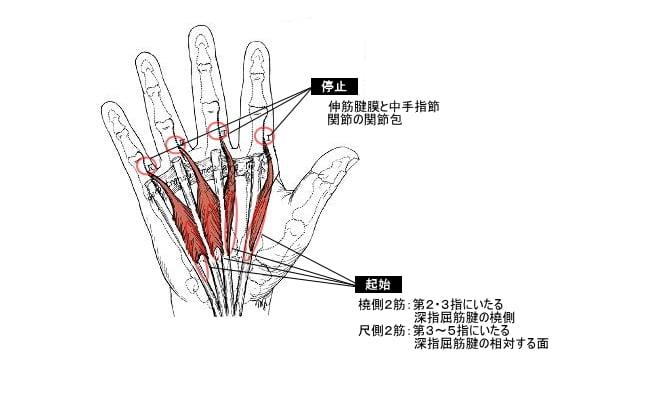 手指 節 関節 中