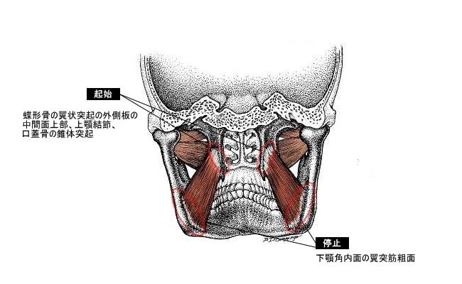 内側翼突筋