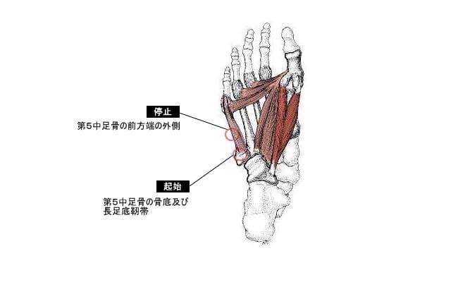 小趾対立筋