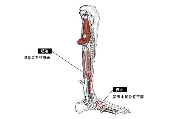 第三腓骨筋