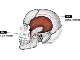 temporalis_muscle