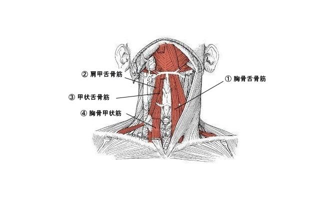舌骨下筋群